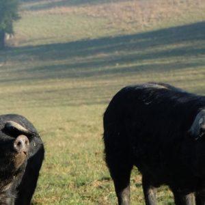 porc noir gascon ferme de bidache